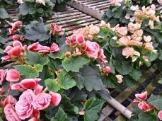 Antique Begonia/Bicolor