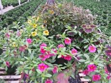Calibrachoa/Coleus/Euphorbia
