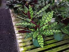 Calathea Lancifolia