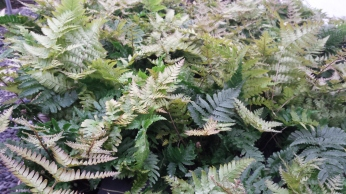 "4"" Autumn Ferns"