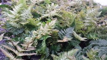 """4"""" Autumn Ferns"""