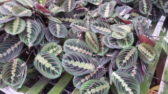Maranta Prayer Plant