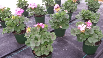 "4"" Geraniums"