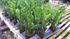 "5"" ZZ Plants"