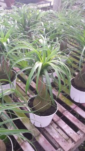 Pony Tail Palm 6""
