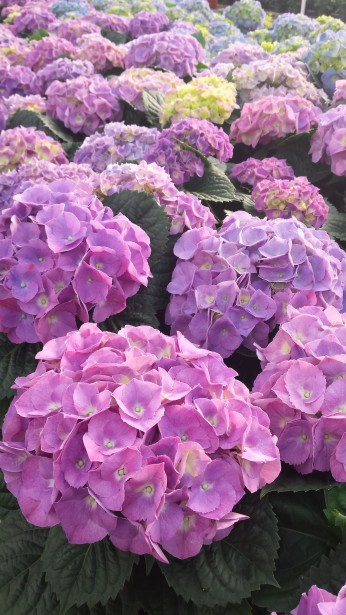 "8"" Purple Hydrangeas, Full (TIghter Available)"