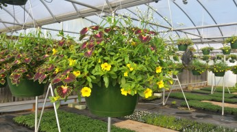 Coleus/Euphorbia Calibrachoa