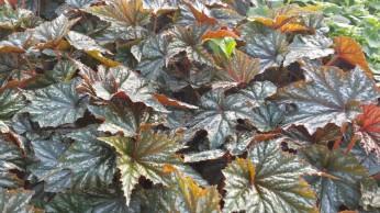 Gryphon Hybrid Begonia