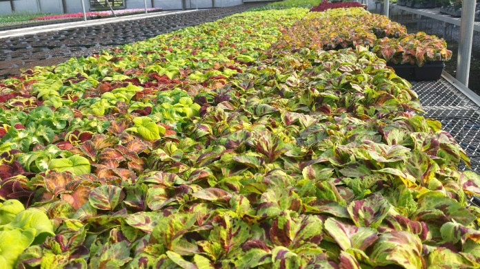 606 Coleus Bedding