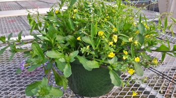 Mecardonia/Euphorbia/Scaevola Mix Basket