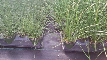 Juncus Twisted Arrow (left) Juncus Javlin (right)