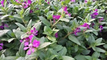 Violet Cuphea