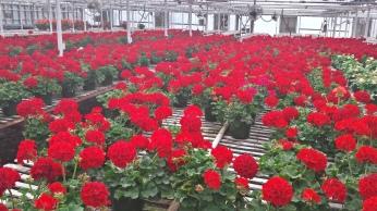 """6"""" Red Geraniums"""