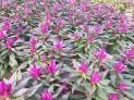 """Celosia, Purple 6"""""""