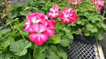 "4"" Seed Geranium"