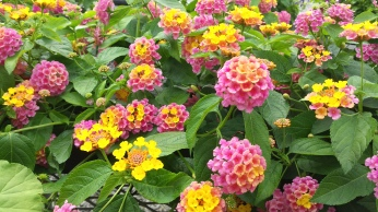 "4"" Lantana ""Sunrise Rose"""