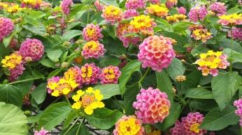 """4"""" Lantana """"Sunrise Rose"""""""