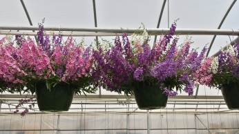 "10"" Angelonia HB"