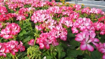"""4"""" Seed Geraniums"""