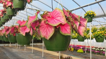 Florida Sweeheart Caladium Basket