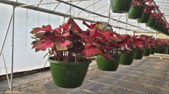 Red Flash Caladium Basket