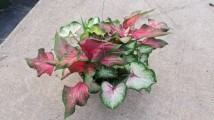 Caladium Mix Basket