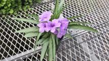 """Mexican Petunia """"Ruellia Brittoniana"""" 4.5"""""""
