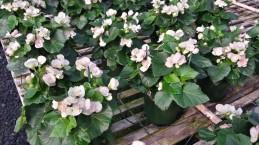 """Begonia 6"""""""
