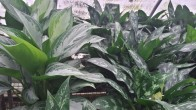 Light and Dark Green Chinese Evergreen