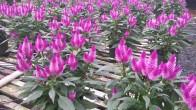 """6"""" Purple Celosia"""