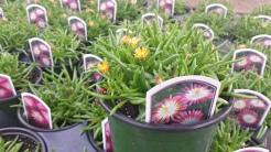 "Ice Plant (Delosperma) Jewel of the Desert ""Ruby"""