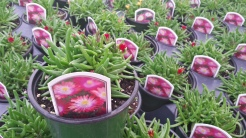 "Ice Plant (Delosperma) Jewel of the Desert ""Garnet"""