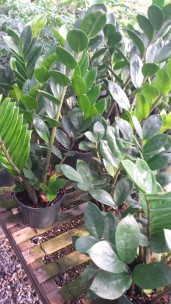 "6"" ZZ Plants"