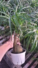 "6"" Ponytail Palm"
