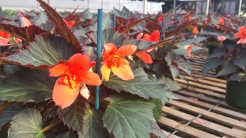 "6.5"" Unstoppable Upright Fire Begonia"