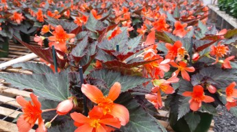 "6.5"" Unstoppable Upright Fire Begonias"
