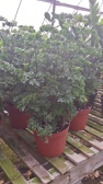 "6"" Parsley Aralia"