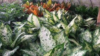 "6"" Dieffenbachia & Croton"