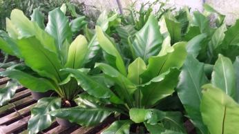 "6"" Birdsnest Ferns"