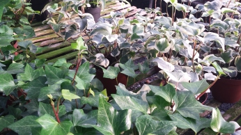 "6"" Algerian Ivy, Green & Varigated"