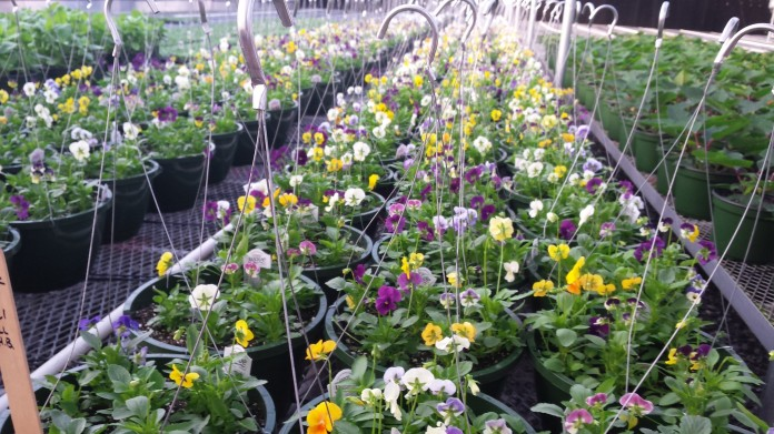 Our pansy baskets are coming along nicely!