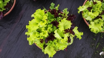 City Garden Mix Lettuce Bowl