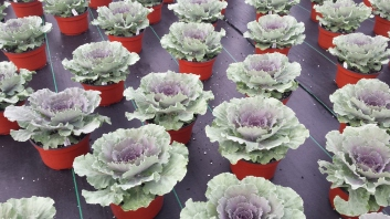 Songbird Red Flowering Kale