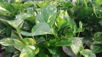"6"" Green/Yellow Pothos"