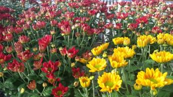 """6"""" Florist Mum, Pueblo & Red Irvine Daisy"""