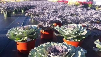 Floering Kale