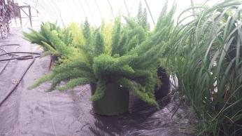"10"" Asparagus Ferns"