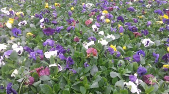 MG Mix Blotch Pansies