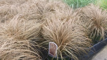 Carex Grass