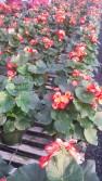 """6"""" Rieger Begonia"""